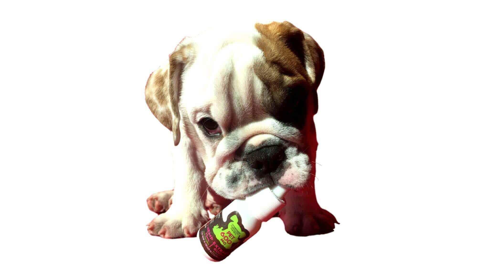 Dog With Pet CBD Oil