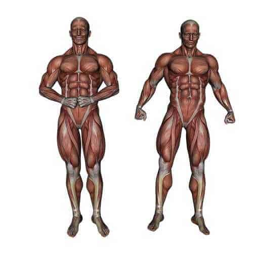 Human body muscles - CBD For Fybromialgia
