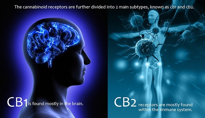 Humany Body CB1 and CB2 Cannabinoid Receptors
