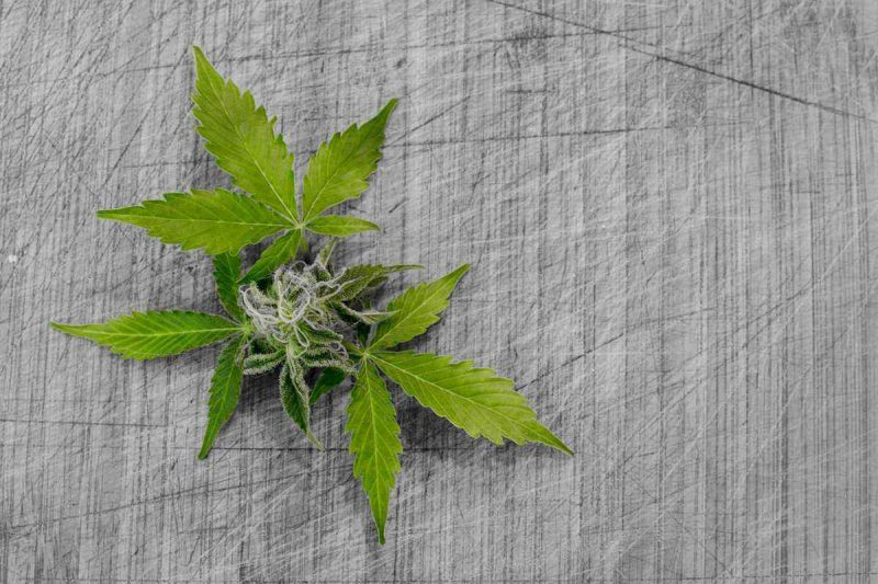 Medical Weed - Medicinal Marijuana - CBD Marijuana - World of Cannabis - Cannabis leaf on grey background