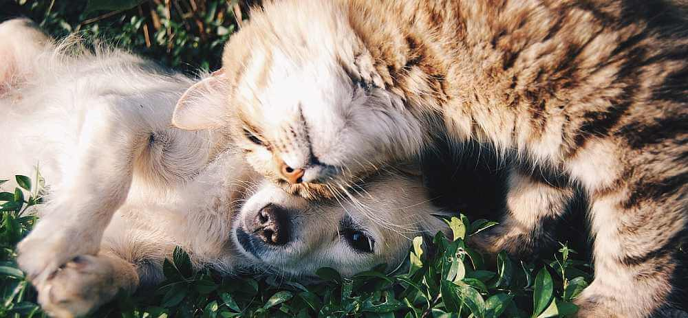 CBD For Cats - CBD Dosage For Cats - CBD Oil For Pets