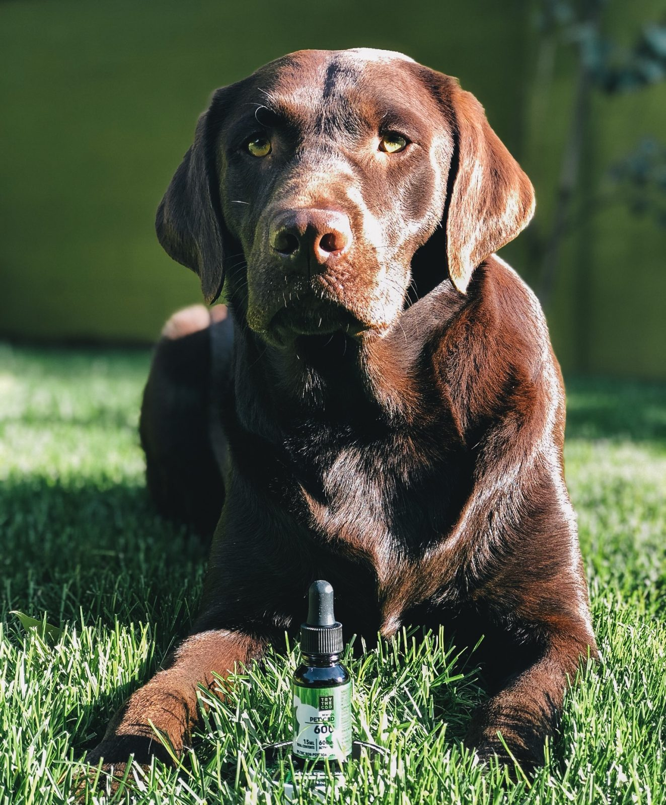 CBD OIl for cats and dogs